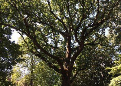 Bicentennial Oak of Vanderbilt #30
