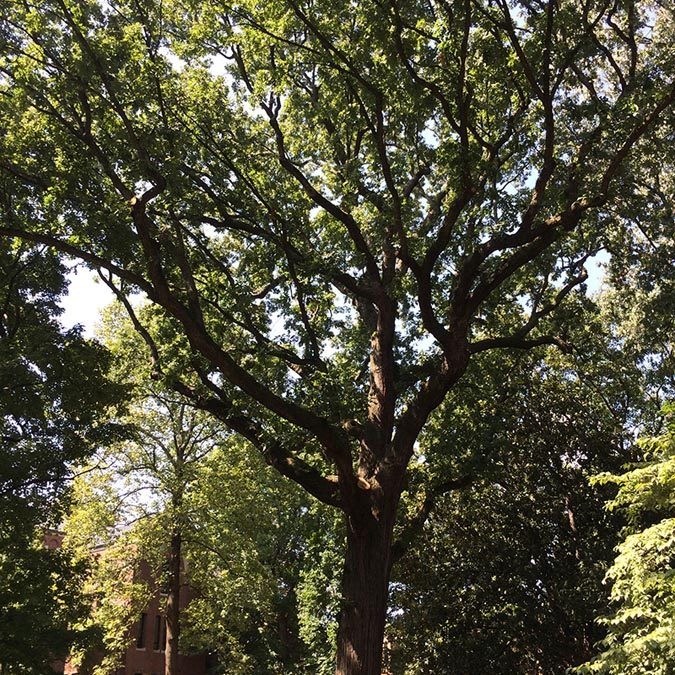 Bicentennial Oak of Vanderbilt #30