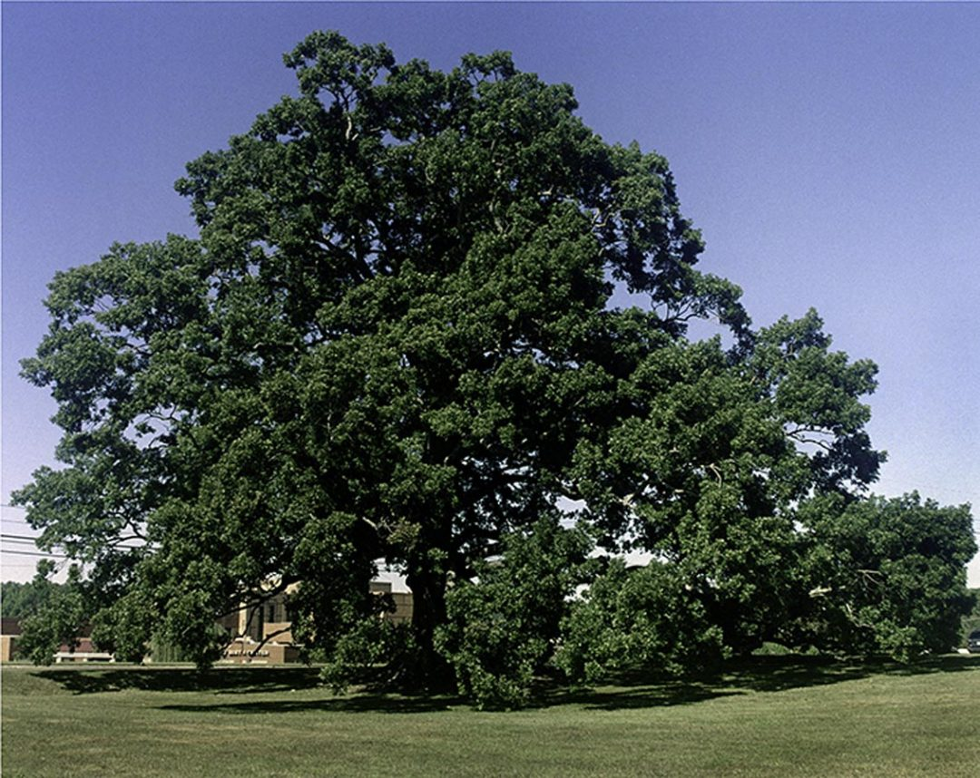 Birthing Tree White Oak #4