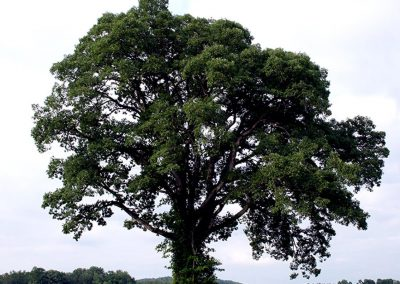 Cherokee Oak #13