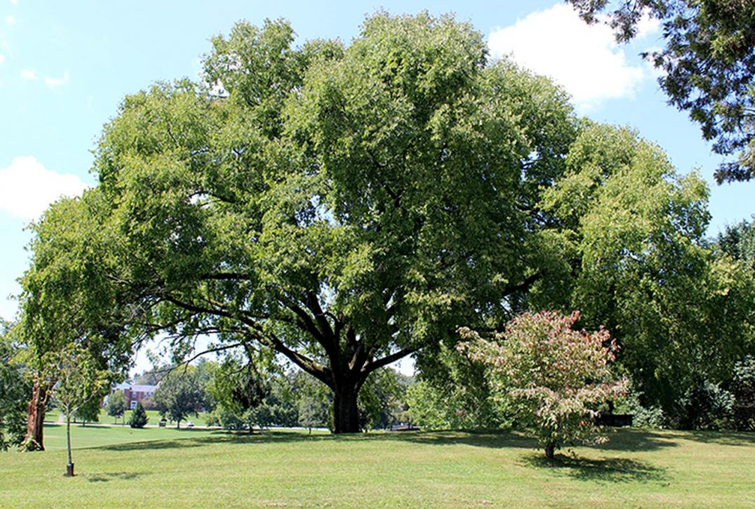 Commons Elm #11