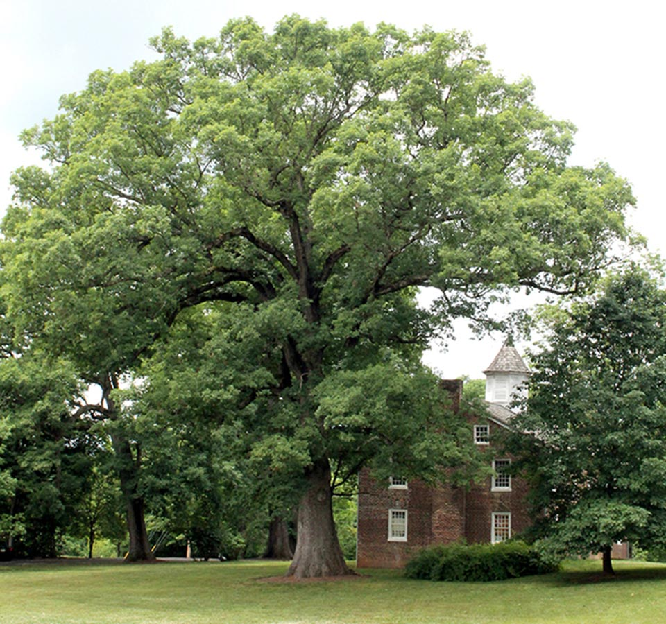 Old Oak of Tusculum College #19