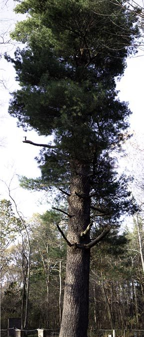Samuel Smith White Pine #6