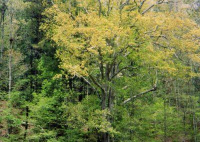 Suttles' Boundary Oak