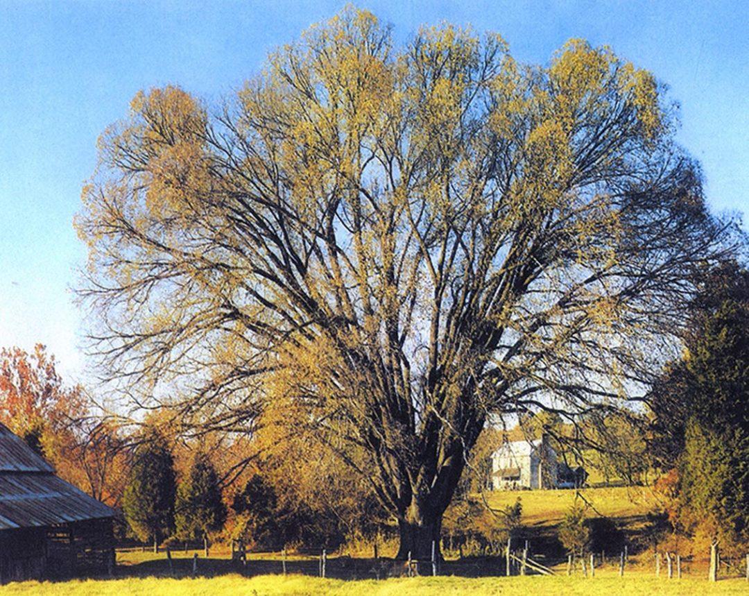 Trigonia Elm