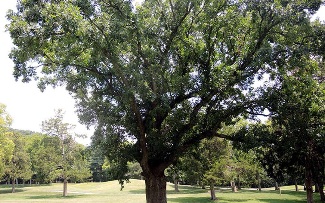 Witness Tree of Richland Country Club #23