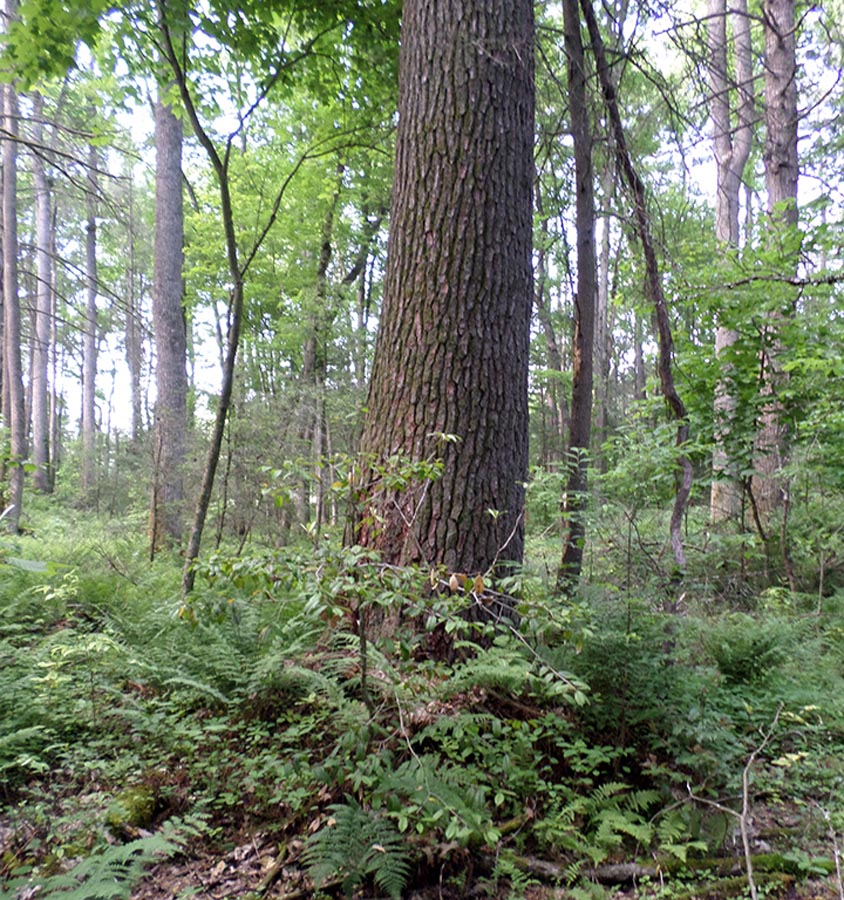 Wright Forest Natural Area #1