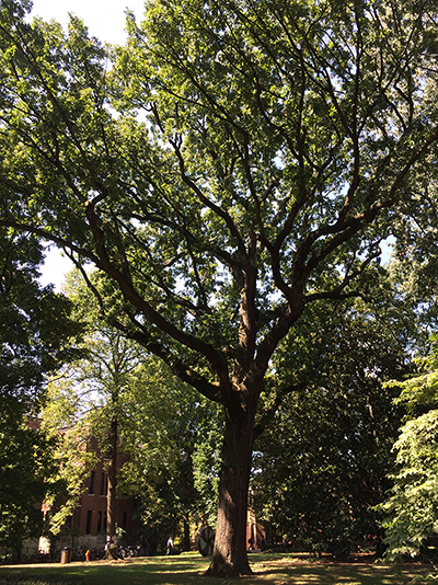 Bicentennial Oak of Vanderbilt